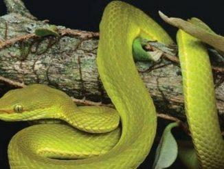 New species Trimeresurus salazar